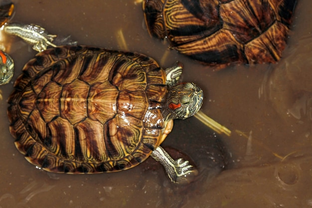 Nahaufnahme der japanischen schildkröte im minipool