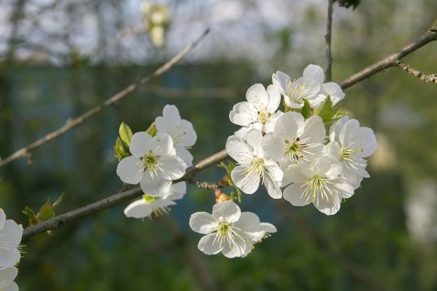 Nahaufnahme der kirschblüte in einem feld unter dem sonnenlicht am tag