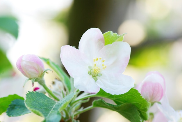 Nahaufnahme der kirschblüten