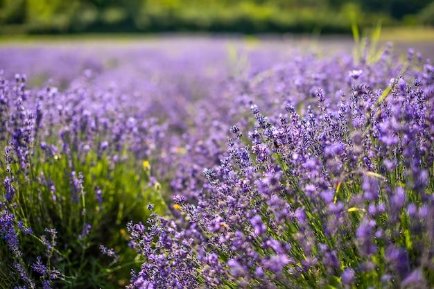 Nahaufnahme der lavendelblüte, die auf dem wind der tschechischen republik europa blüht