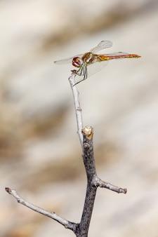 Nahaufnahme der libelle am zweig