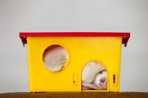 Nahaufnahme der lustigen weißen hausratte mit den langen schnurrhaaren, die im gelben plastikhaustierhaus schlafen.