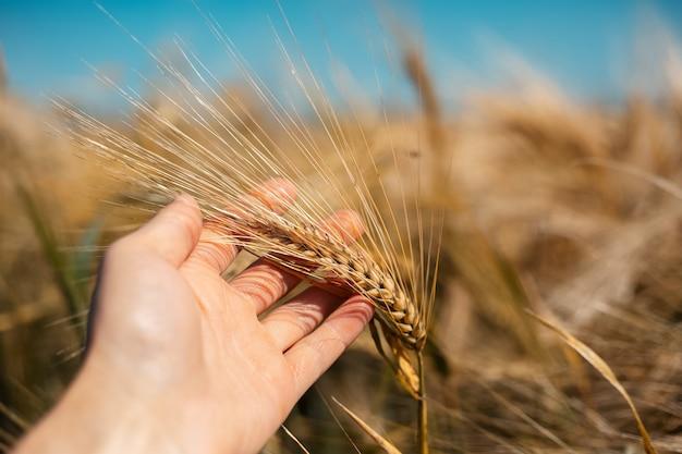 Nahaufnahme der männlichen hand, die goldenen trockenen weizenstamm auf unscharfem hintergrund des feldes und des blauen himmels hält.
