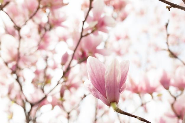 Nahaufnahme der magnolienbaumblüte mit unscharfem hintergrund und warmem sonnenschein