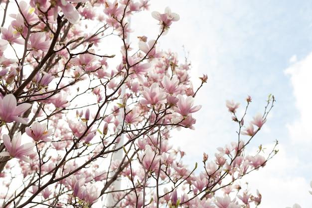 Nahaufnahme der magnolienbaumblüte mit unscharfem hintergrund