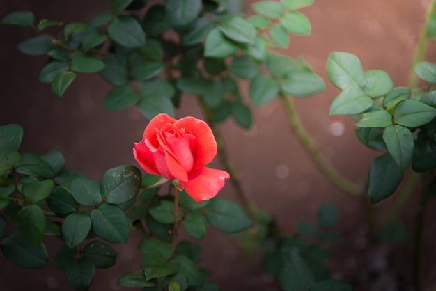 Nahaufnahme der orange rose