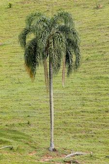 Nahaufnahme der palme mit geschlossenem grünem grashintergrund. brasilien