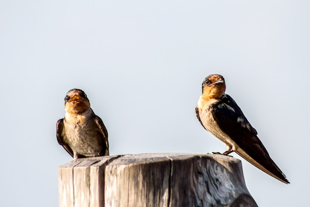Nahaufnahme der pazifischen schwalbe des vogels (hirundo tahitica) lokalisiert im seeblau in tropischem südasien