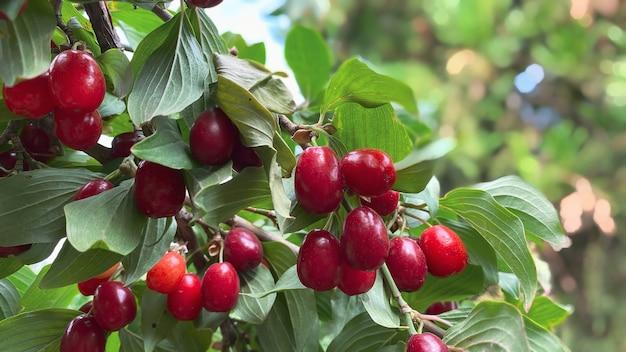 Nahaufnahme der reifen hartriegelfrucht bei klarem sommerwetter. gartenkonzept.
