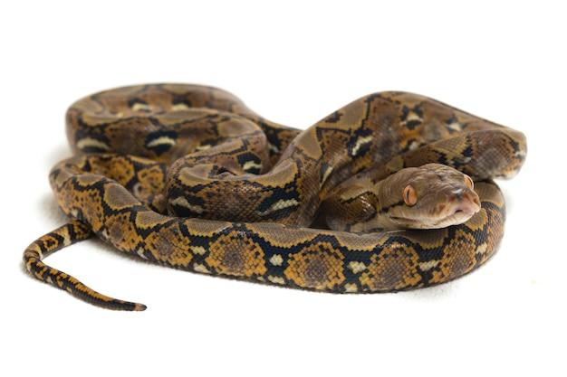 Nahaufnahme der retikulierten python