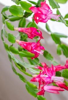 Nahaufnahme der rosa blumen des zygocactus oder der christbaum-zimmerpflanze