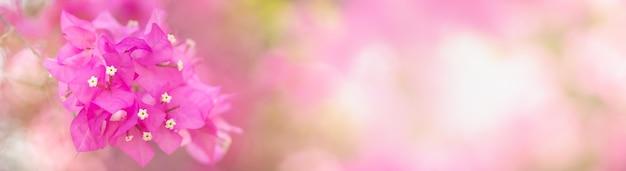 Nahaufnahme der rosa bougainvillea blume