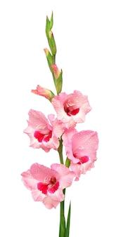 Nahaufnahme der rosa gladiolenblume auf weißem hintergrund