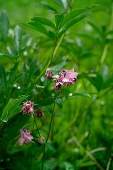 Nahaufnahme der rosa glockenblumenblumen