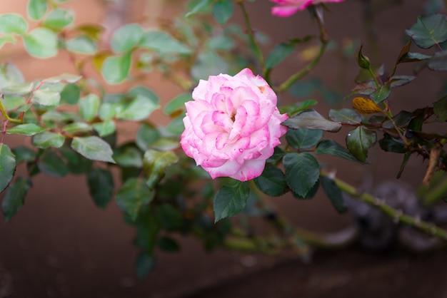 Nahaufnahme der rosarose