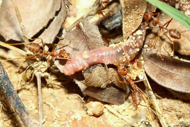 Nahaufnahme der roten ameise der gruppe ist eine tierwanze und greift regenwürmer für nahrung an