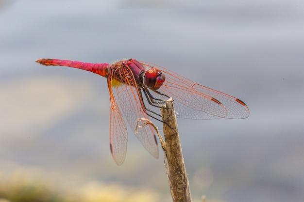 Nahaufnahme der roten libelle am stock