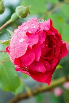 Nahaufnahme der roten rosenknospe am stiel mit blättern auf unscharfem natürlichen hintergrund. geringe schärfentiefe.