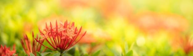 Nahaufnahme der roten rubiaceae-blume auf unscharfem gereen hintergrund