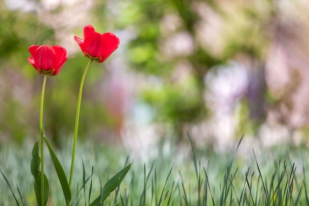 Nahaufnahme der roten tulpenblumen, die im frühlingsgarten draußen blühen.
