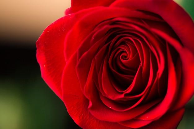 Nahaufnahme der schönen dunkelroten rose. makroaufnahme