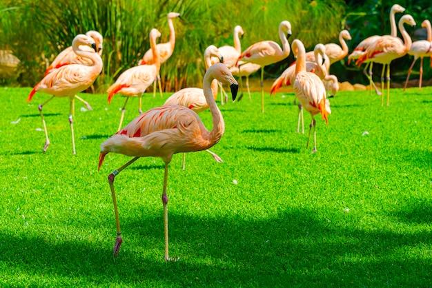 Nahaufnahme der schönen flamingogruppe, die auf dem gras im park geht