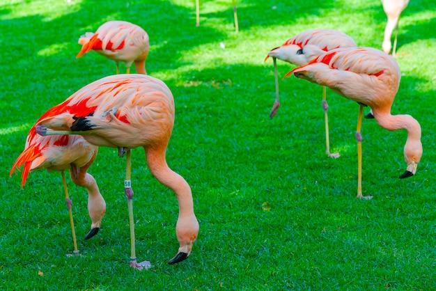 Nahaufnahme der schönen flamingogruppe, die nach nahrung im gras sucht