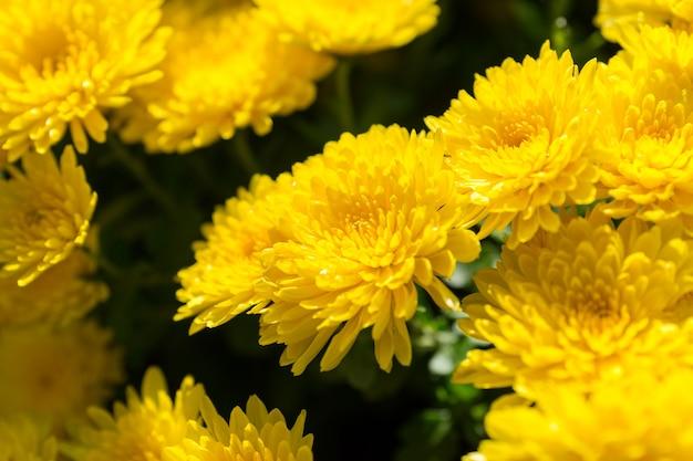 Nahaufnahme der schönen gelben chrysantheme
