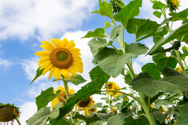 Nahaufnahme der schönen sonnenblume
