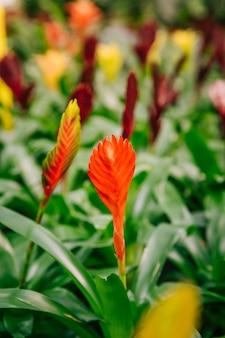 Nahaufnahme der schönen und bunten blume des roten vriesea bromelien im park