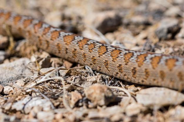 Nahaufnahme der schuppen einer erwachsenen leopard snake oder european ratsnake, zamenis situla, in malta