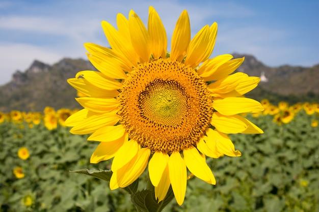 Nahaufnahme der sonnenblume