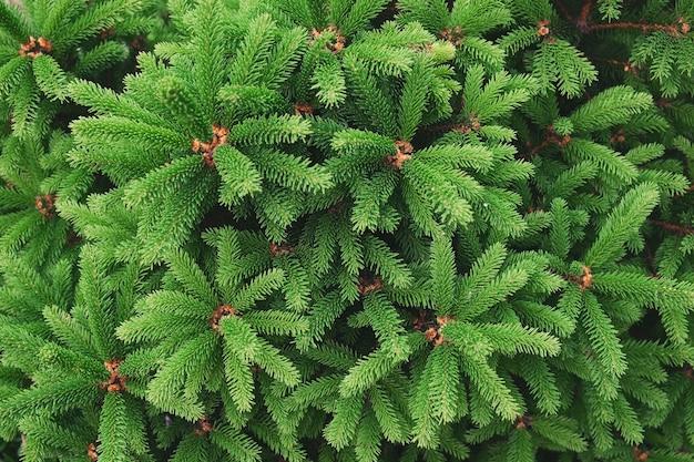 Nahaufnahme der tannennadelbaum-zweigzusammensetzung als hintergrundtextur. natürliche pflanzenkulisse.