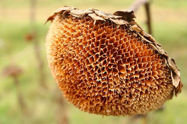 Nahaufnahme der trockenen sonnenblume