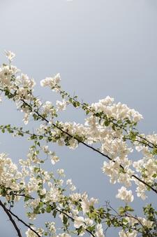 Nahaufnahme der tropischen pflanze mit schönen weißen blüten und grünen blättern gegen blauen himmel
