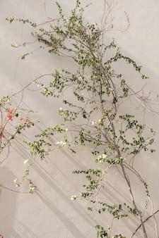 Nahaufnahme der tropischen pflanze mit schönen weißen und roten blüten und grünen blättern gegen beige wand mit sonnenlichtschatten