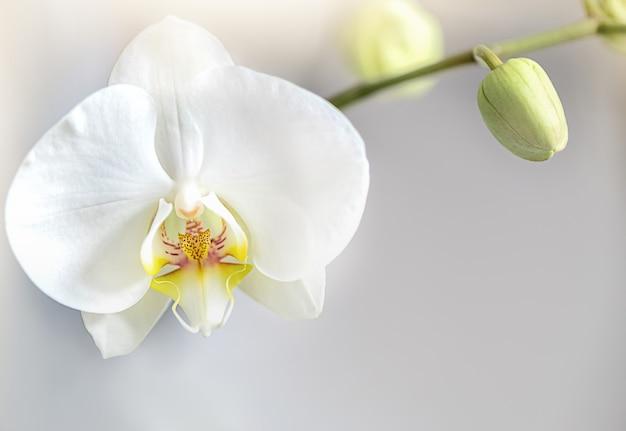 Nahaufnahme der weißen blühenden blume der phalaenopsis-orchidee auf stiel. gewächshaus, zimmerpflanze, exotische blumen zu hause
