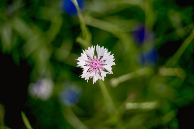 Nahaufnahme der weißen blume kornblume der hintergrund ist unscharf