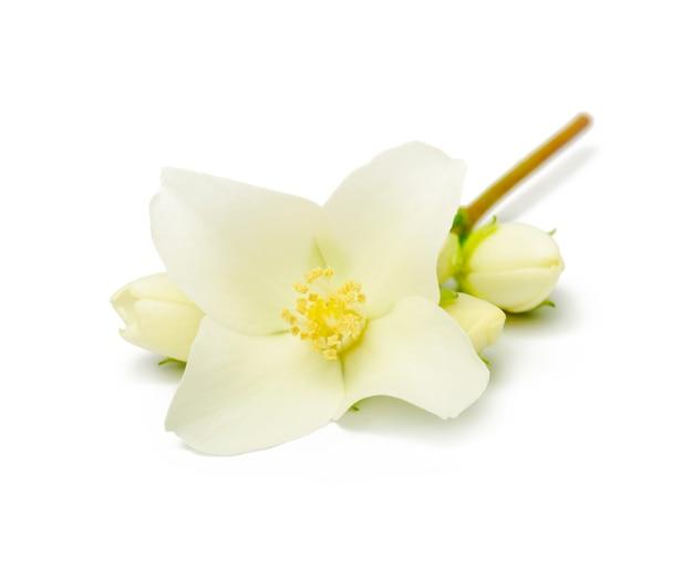 Nahaufnahme der weißen jasminblüte