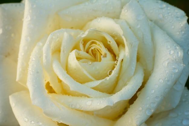 Nahaufnahme der weißen rosenknospe mit unscharfem hintergrund. geringe schärfentiefe. ansicht von oben.