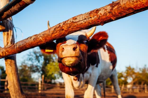 Nahaufnahme der weißen und braunen kuh auf bauernhofyard bei sonnenuntergang.
