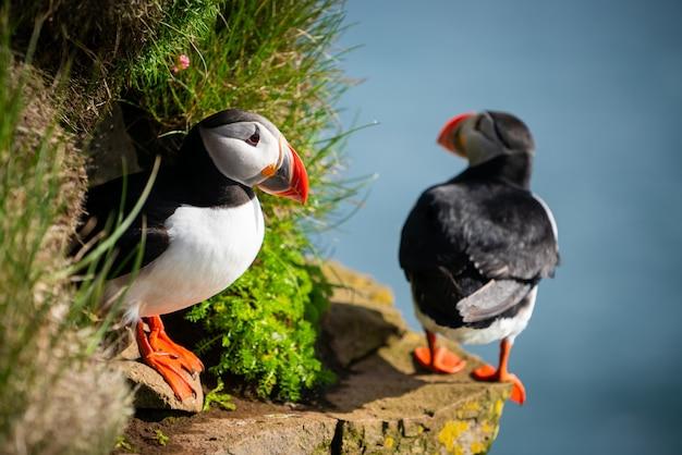 Nahaufnahme der wilden auk papageientaucher-seevögel