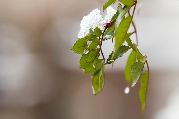 Nahaufnahme des aufhängens des rosenzweigs mit kleinen nassen grünen blättern bedeckt mit schnee auf hellem unscharfem sonnigem abstraktem kopienraumhintergrund. postkartengruß, neujahrsthema, schönheit des naturkonzepts.