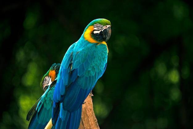 Nahaufnahme des blauen und gelben keilschwanzsittichs oder des arara caninde