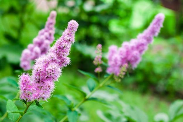 Nahaufnahme des blühenden weidenkrauts (spiraea salicifolia) im garten