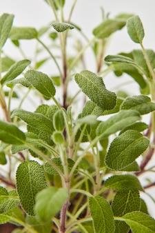 Nahaufnahme des botanischen natürlichen von zweigen der frischen grünen salvia-pflanze auf einer hellgrauen wand. selektiver fokus.