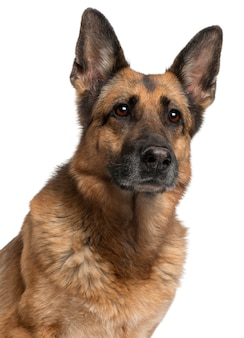 Nahaufnahme des deutschen schäferhundes, 10 jahre alt,