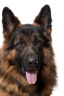 Nahaufnahme des deutschen schäferhundes, 2 jahre alt,