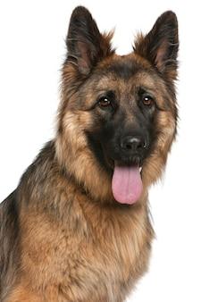 Nahaufnahme des deutschen schäferhundes, 21 monate alt,