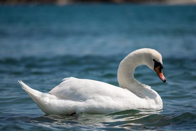 Nahaufnahme des edlen weißen schwans schwimmt auf dem see großer einsamer schwan auf dem teich